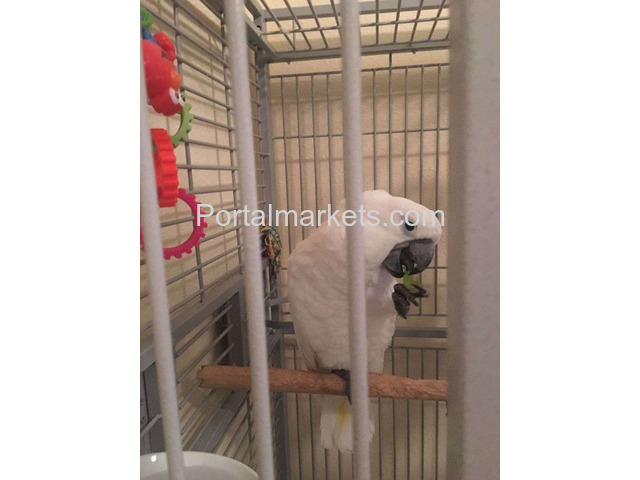 African grey, cockatoo,macaws,Amazons,elecdus for sale,whatsapp : +12486625079 - 2/4