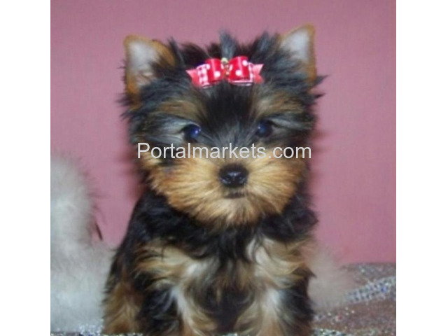 Yorkie Puppies Available Text/call via  - - 1/1