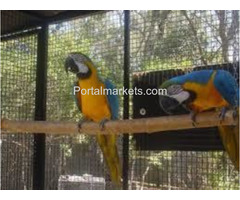 Talking, dancing 2 year old macaw