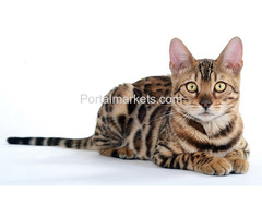 Purebreed bengal kittens for sale