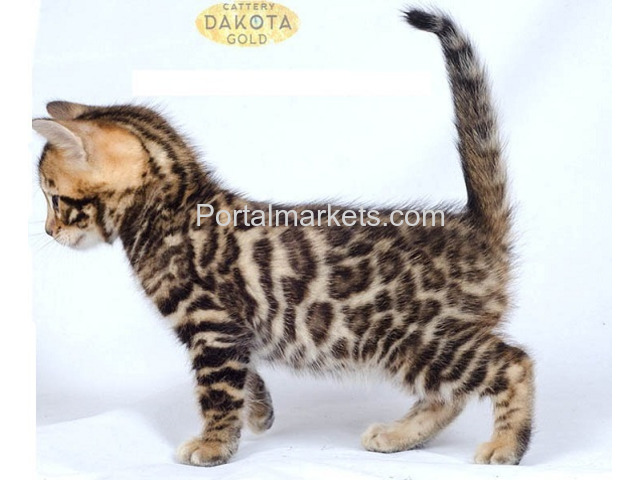 Purebreed bengal kittens for sale - 2/3