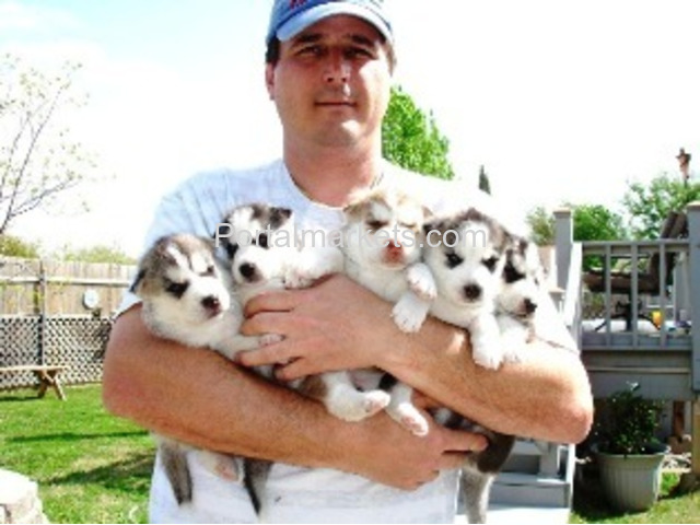 Buy Husky puppiies, Buy Siberian Husky , buy pet husky online near me - 1/1