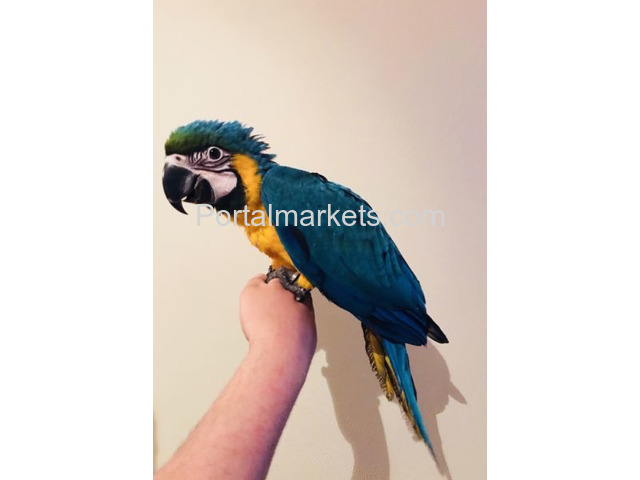 Available Macaw Parrots - 1/1
