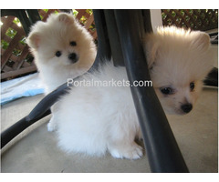 Purebred Male and Female Pomeranian Puppies