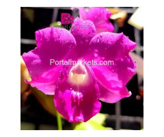 Buy Orchid Online