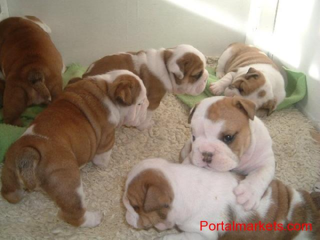 Extra Charming Male And Female English Bulldog Puppies For adoption - 1/1