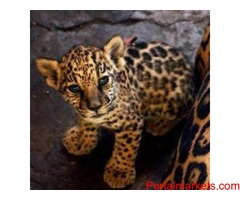 jags cubs for sale