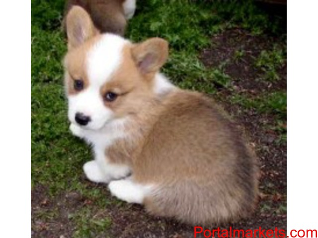 Mind Blowing Pembroke Welsh Corgis Puppies Available For New Home - 1/1