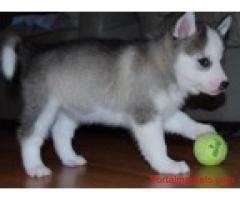 Blue eyes husky puppies for xmas gift free(435) 554-7905