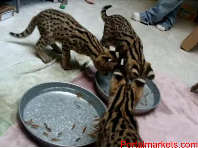 Cheetahs, Servals, Caracal and F1 savannah kittens for sale - 1/1