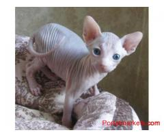 Beautiful male and female Sphynx kittens for sale