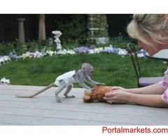 Baby capuchin monkeys now available