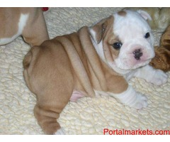 Cute english bulldog puppies now available