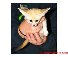Lion,Cheetah, Tiger Cubs and Fennec Fox For Sale