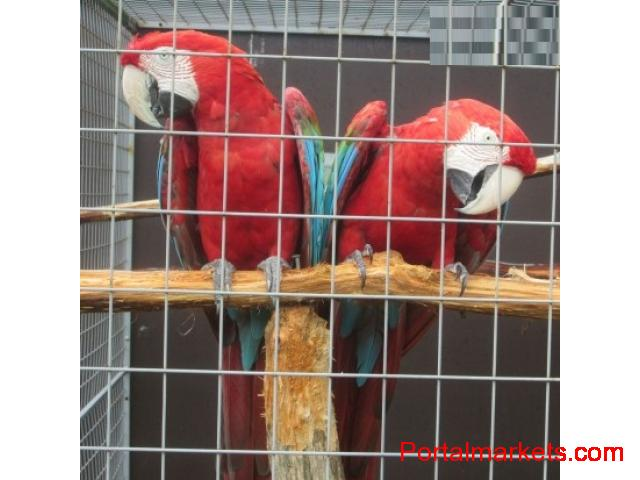 Proven Pair Of Greenwing Macaws for sale.. - 1/1