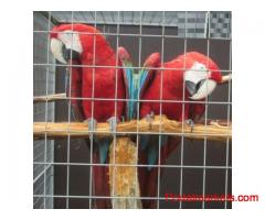Proven Pair Of Greenwing Macaws for sale..